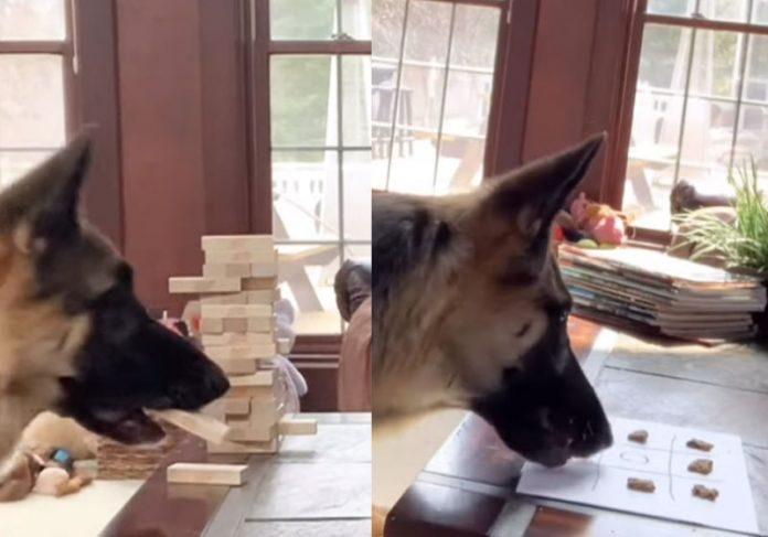 cachorra que joga jenga, xadrez, dama